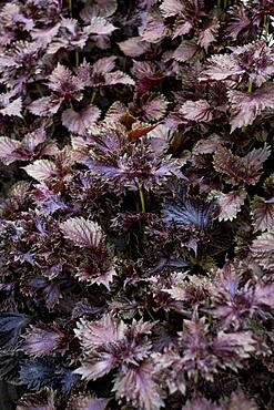 High angle close up of purple mint.