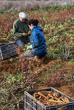Two farmers kneeling in a field, harvesting parsnips.