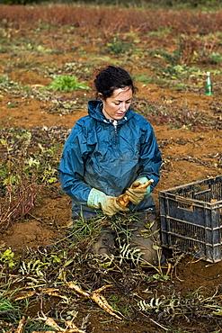 Farmer kneeling in a field, harvesting parsnips.