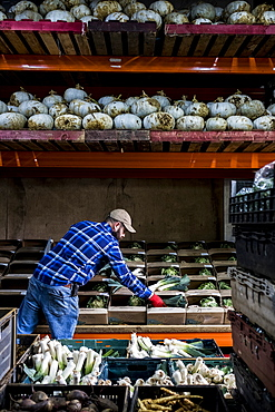 Farmer standing in a barn, sorting freshly picked produce into vegetable boxes.