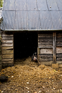 Sow looking through the doorway of a pigsty on a farm.