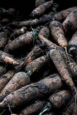 High angle close up of freshly picked parsnips.