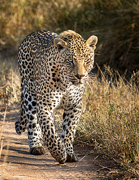 A male leopard, Panthera pardus, walks along a sand path, looking out of frame, Londolozi Game Reserve, South Africa