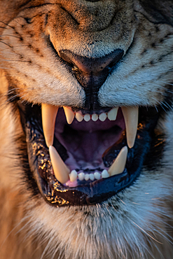 The mouth of a snarling lion, Panthera leo, Londolozi Game Reserve, South Africa
