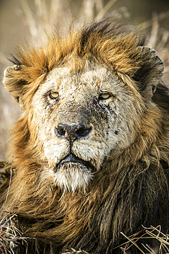 A portrait of a male lion, Panthera leo, showing scratches on face.