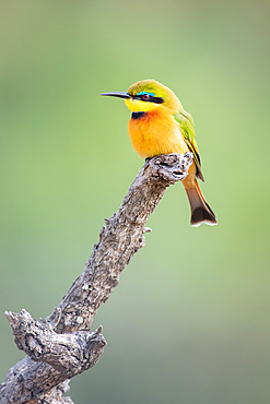 Little Bee Eater bird, Merops pusillus, sitting on a branch