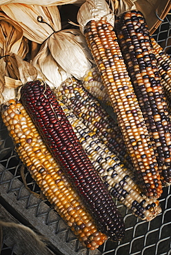 A variety of Indian corn cobs, with different natural colours and patterns. Maize, Accord, New York, USA