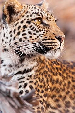 Leopard, Chobe National Park, Botswana, Chobe National Park, Botswana