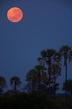 Moon over palms, Botswana, Botswana