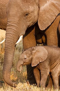 African elephant and calf, Okavango Delta, Botswana, Botswana