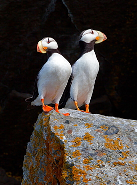 White-chested puffins, Fratercula corniculata, Horned puffins, Lake Clark National Park, Alaska, USA, Lake Clark National Park, Alaska, USA