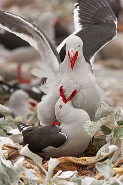 Dolphin gulls, Falkland Islands, Falkland Islands
