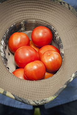 A clutch of fresh ripe red tomatoes, collected in an upturned hat, Woodstock, New York, USA