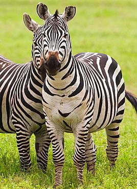 Plains zebras, Ngorongoro Conservation Area, Tanzania, Ngorongoro Conservation Area, Tanzania