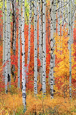 A forest of aspen and maple trees in the Wasatch mountains, with striking yellow and red autumn foliage, Wasatch Mountains, Utah, USA