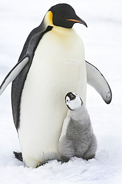 An adult Emperor penguin with a small chick nuzzling up, and looking upwards, Weddell Sea, Snow Hill Island, Antarctica