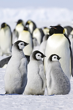 A group of emperor penguins standing on the ice on Snow Hill Island, Weddell Sea, Snow Hill Island, Antarctica