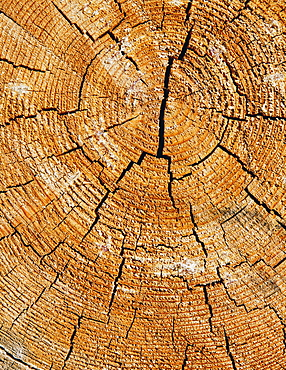 Close up of cross section from cut Ponderosa Pine tree, tree rings visible, near Blewett Pass, Okanogan-Wenatchee NF, Chelan County, Washington, USA