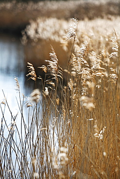 Tall reed stalks and feathery seedheads growing in shallow water in the fens near Shettisham in Norfolk, Snettisham, Norfolk, England