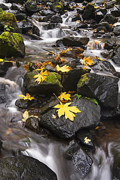Autumn maple leaves on the smooth rocks at Starvation Creek falls in the Columbia River Gorge, Starvation Creek Falls, Columbia River Gorge, Oregon, USA