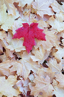 A red autumnal coloured maple leaf on a background of brown leaves, Wasatch national forest, Utah, USA