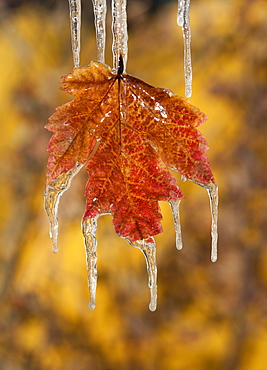 A red brown maple leaf, in autumn. Icicles hanging off the tips, Wasatch national forest, Utah, USA