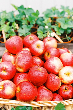 A display of fresh apples with water droplets on the red skin, and a basket of plants, England