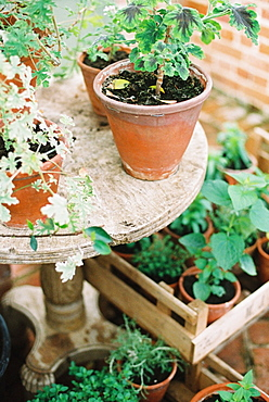 Young plants and seedlings in clay pots in a conservatory, England