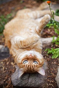 Orange tabby cat lying in garden, Santa Fe, New Mexico, USA