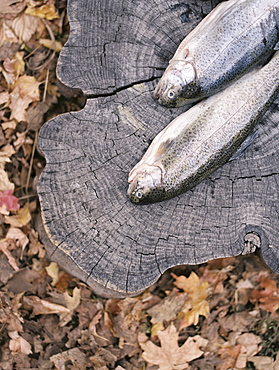 Two fresh fish lying on a tree trunk, Millcreek, Utah, United States of America
