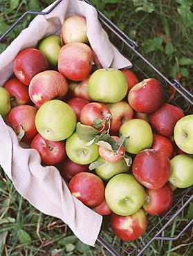 An apple orchard in Utah. A basket of apples, Sataquin, Utah, United States of America