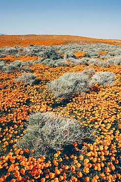 A naturalised crop of the vivid orange flowers, the California poppy, Eschscholzia californica, flowering, in the Antelope Valley California poppy reserve, Papaveraceae, Antelope Valley, California,USA