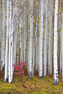 Fall colours in the Wasatch Mountains, aspen trees with pale bark and straight trunks, Wasatch Mountains, Utah, USA