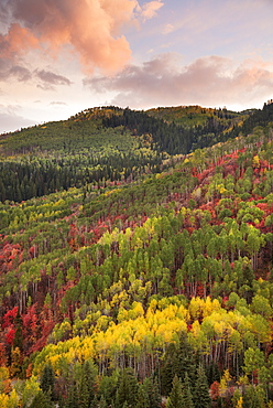 Forests of maple and aspen trees in vivid autumn colour at sunset, Wasatch Mountains, Utah, USA