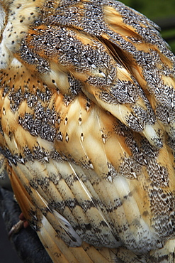 A barn owl, close up of the feathers of the wing, Barn Owl, England