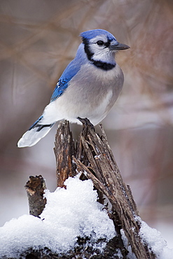 Blue Jay bird perching on a branch covered in snow.