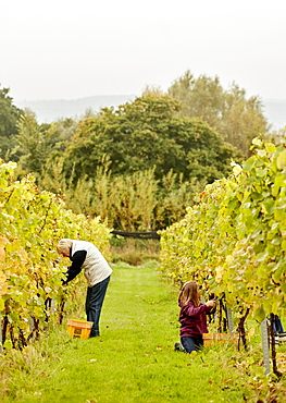 Two people picking grapes in a vineyard, England, United Kingdom