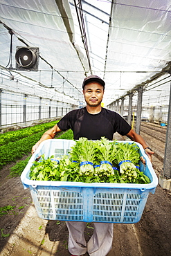 Worker in a greenhouse holding a crate full of fresh harvested vegetables, Japan