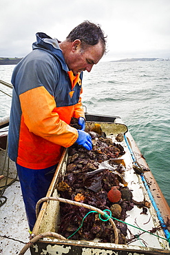 Traditional Sustainable Oyster Fishing, A man sorting oysters on a boat deck, Fal Estuary, Cornwall, England