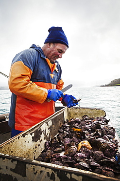 A fisherman working on a boat deck, sorting out oysters and other shellfish, Traditional sustainable oyster fishing on the River Fal, Fal Estuary, Cornwall, England