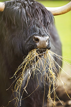 Black Scottish Highland cattle with long wavy coat feeding on hay, England, United Kingdom