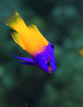 Bicolored Fairy basslet, Gramma loreto, above a coral reef.
