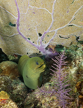 Green moray eel emerging from under a coral fan branch on coral reef.