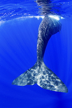 Tail fluke of a Sperm whale underwater.