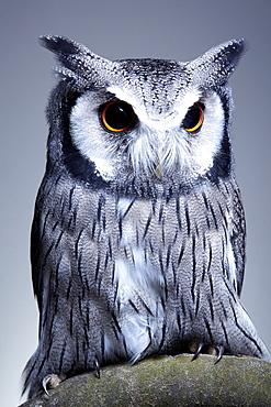 Studio portrait of a northern white faced owl (Ptilopsis leucotis) sanding on a branch, England