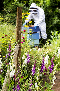 Beekeeper wearing protective suit at work, inspecting wooden beehive, England, United Kingdom