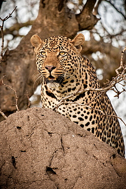 A leopard, Panthera pardus, on a termite mound, looking around, Londolozi Game Reserve, Sabi Sands, Greater Kruger National Park, South Africa