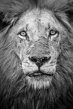 A black and white portrait of a male lion, Panthera leo, direct gaze with a mane and scarred nose, Londolozi Game Reserve, Sabi Sands, Greater Kruger National Park, South Africa