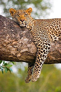 A leopard, Panthera pardus, lies on the branch of a tree, legs tangling over the branch, alert, ears forward, head resting on branch, Londolozi Game Reserve, Sabi Sands, Greater Kruger National Park, South Africa