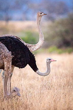 Three common ostriches, Struthio camelus, stand with their heads up and bent down, male and female, Londolozi Game Reserve, Sabi Sands, Greater Kruger National Park, South Africa